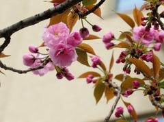 ぼたん桜.JPG