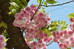 ぼたん桜B.jpg