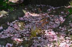 ボタン桜地面.jpg