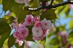 ボタン桜1.jpg