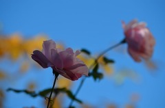 冬のバラ2.jpg