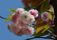 牡丹桜6.jpg