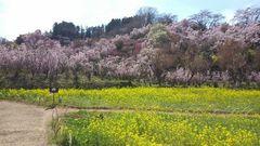 花見山5.jpg