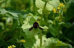 菜の花、蜂.jpg